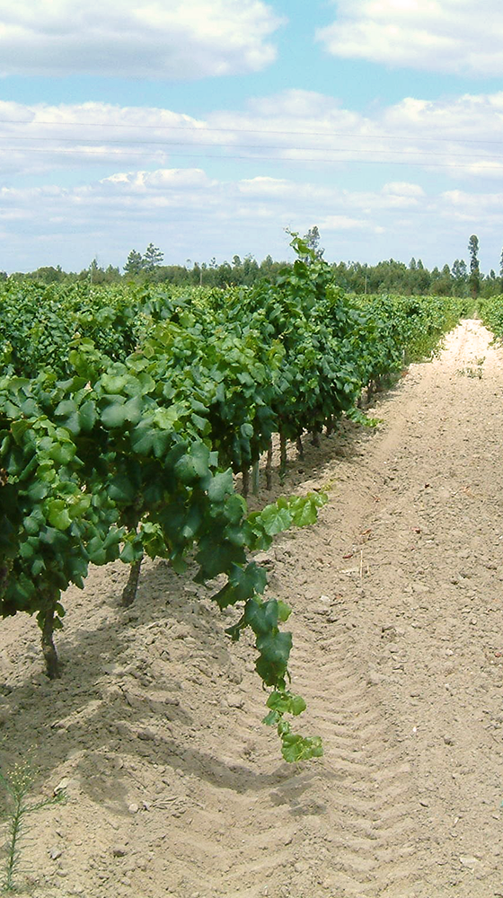 Picture of Pegoes Select Harvest White 2019